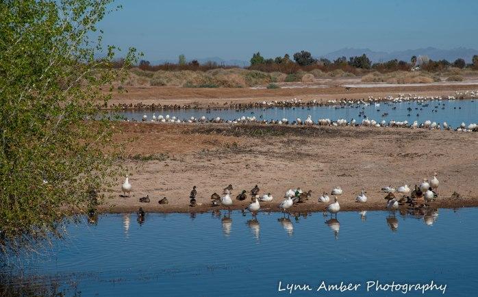 Cibola National Wildlife Refuge Snow Geese American Wigeon Mallard