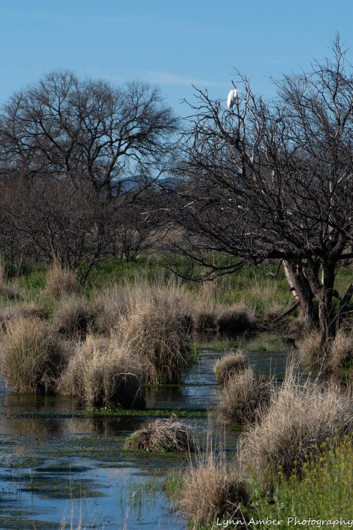 Egret at Cottonwood Pond