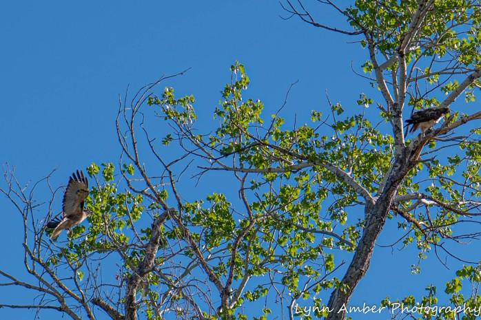 Las Cienegas Hawks (1 of 4)
