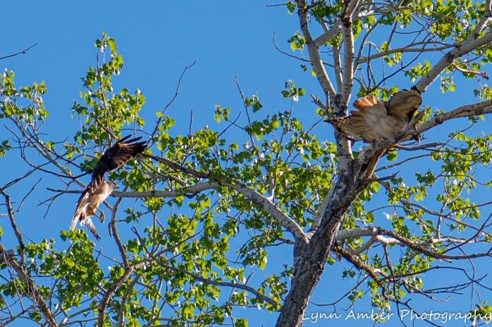 Las Cienegas Hawks (2 of 4)
