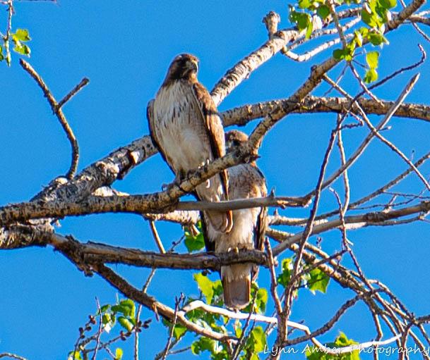 Las Cienegas Hawks (3 of 4)