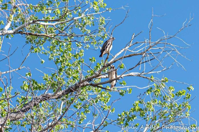 Las Cienegas Hawks (4 of 4)