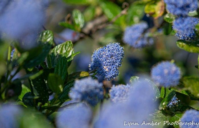 Point Lobos SNR Blue Blossum