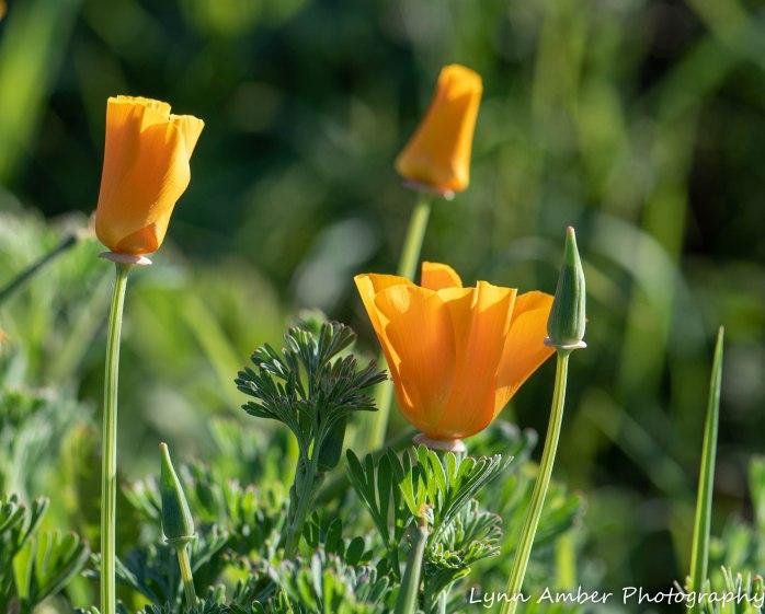 Point Lobos SNR California Poppy (2)