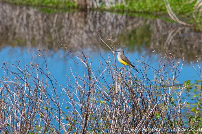 Cottonwood Pond Western Kingbird
