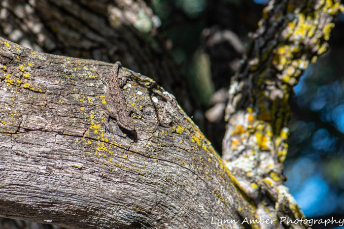 Gila NF Lizards (1 of 3)
