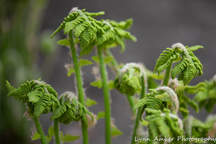 Vermont Ferns (1 of 4)