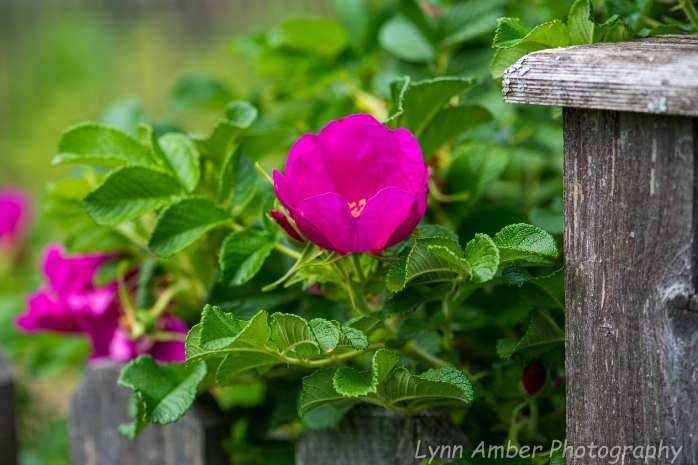 Rugosa Rose and Picket Fence